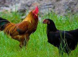 Panduan Ternak Ayam Kampung