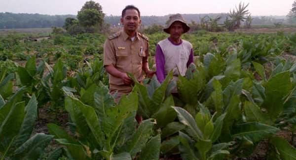 Budidaya Tembakau Desa Wirabangun