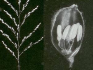 Klasifikasi Dan Morfologi Tanaman Padi Oryza Sativa Dinas Pertanian Mesuji