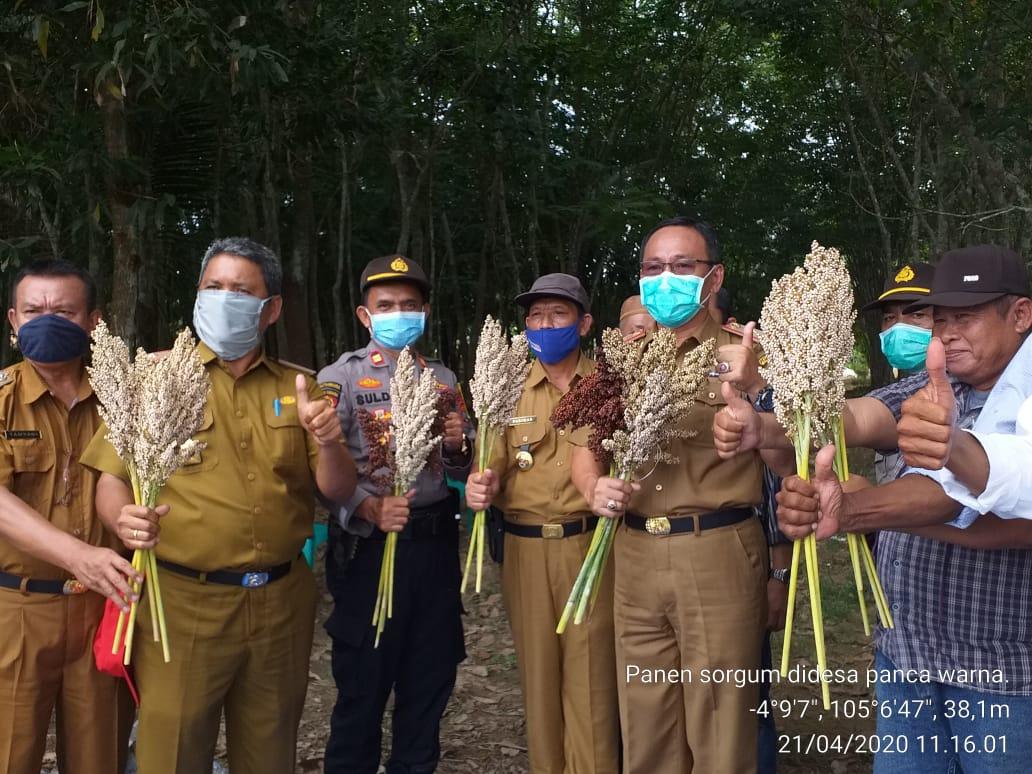 Panen Perdana Sorgum Di Desa Panca Warna Kec. Way Serdang