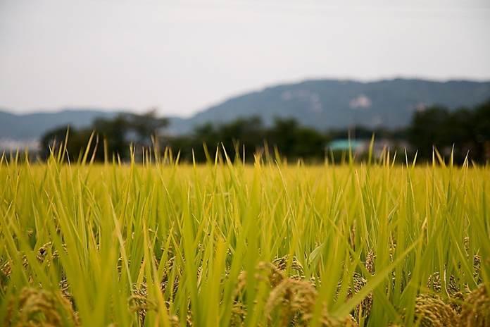 WeRise, Aplikasi yang Memudahkan Petani Padi Memantau Kondisi Sawah