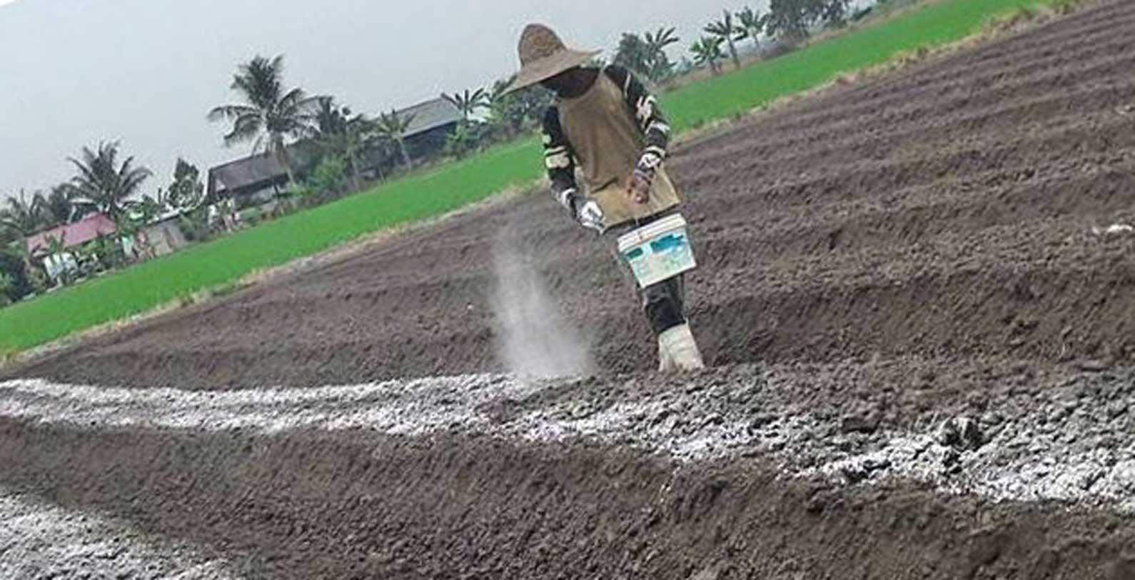 Peranan Pengapuran Tanah di Lahan Rawa Pasang Surut