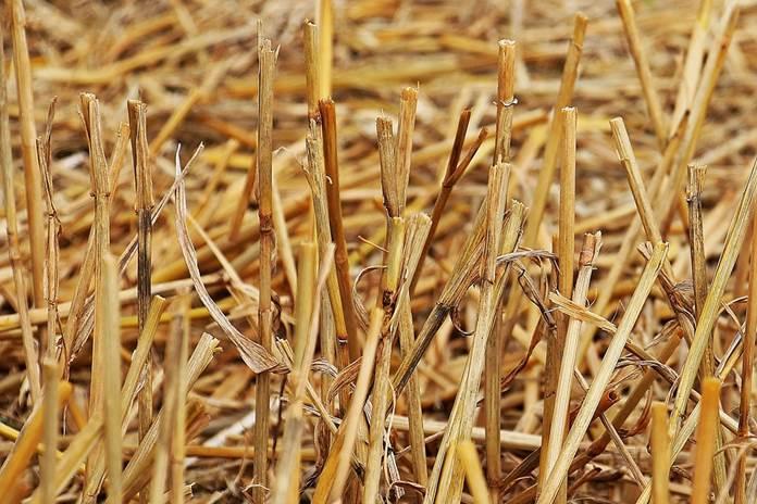Mitos Abu Jerami untuk Menyuburkan Tanah